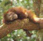 orangoutansauvonsles.jpg